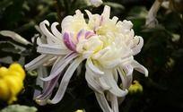 淡雅紫菊花