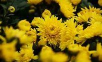 盛放的小黄菊