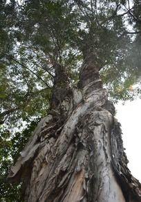 雄伟的剥皮树