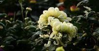 可爱的白色菊花花苞