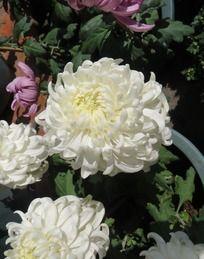 俯瞰白色菊花