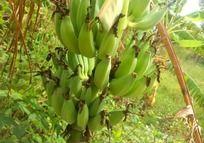 长在树上的香蕉