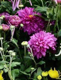 花丛里盛开的紫菊花