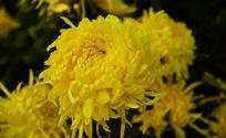 金黄的秋菊