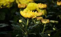 赏心悦目的黄色菊花