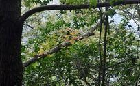 粗壮的枫香树