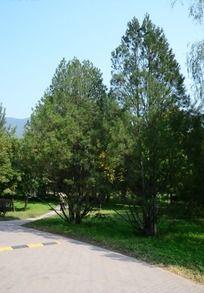 小路边草地上的小树