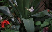 飞舞的白色蝴蝶