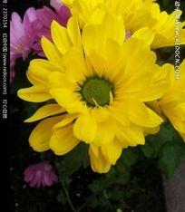 好看的黄色菊花摄影图片