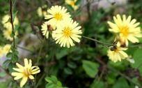山间的雏菊