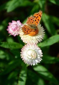 白色麦杆菊上的蝴蝶