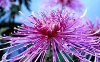 多姿多彩的粉色菊花