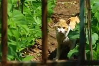 黄色的流浪猫