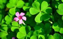 酢浆草上的粉色花朵