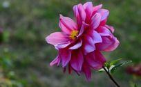 晶莹欲滴的大丽菊