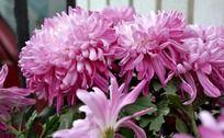 魅力四射的大立菊