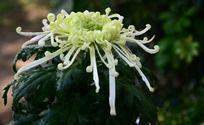 绿色的礼花菊