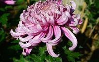 水灵灵的粉色菊花