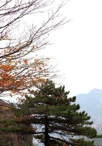 松树和黄树枝