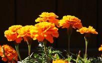 金灿灿的野菊花