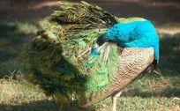 梳理漂亮羽毛的孔雀