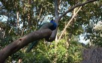 树上的孔雀