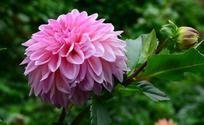 艳丽的大丽菊