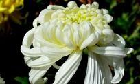 白色圣洁的菊花