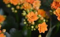橙色长寿花
