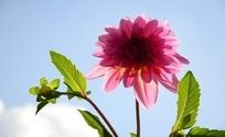 粉色的大丽菊