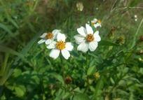 鬼针草的花