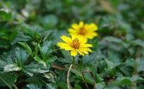 黄色的野菊花特写