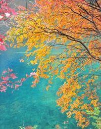 九寨沟秋季渐变的枫叶