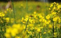蜜蜂在花丛中采蜜