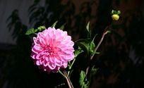 朴实无华的粉色大丽菊