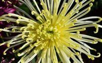 丝丝分明的黄色菊花