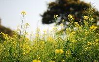 太阳下的油菜花丛