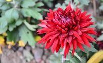 艳红的美丽菊花