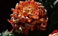 艳丽的朱红色菊花