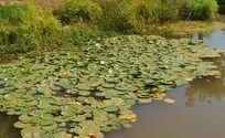 铺满荷叶的池塘