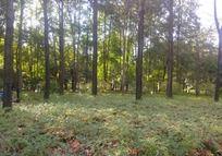 绿色的枫树林