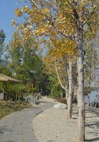 秋天的白桦林小道