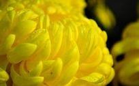 灿烂的黄色菊花特写