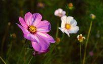 粉中带白的波斯菊