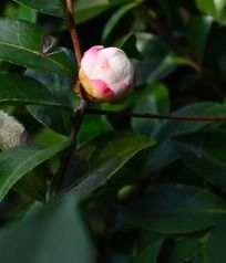 含苞待放的茶梅花苞