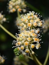 黄白色八角金盘花朵