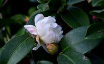 绿叶间的白色茶梅