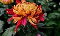 盛开的漂亮菊花