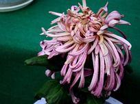 水灵的粉色菊花