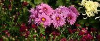 鲜艳紫菊花